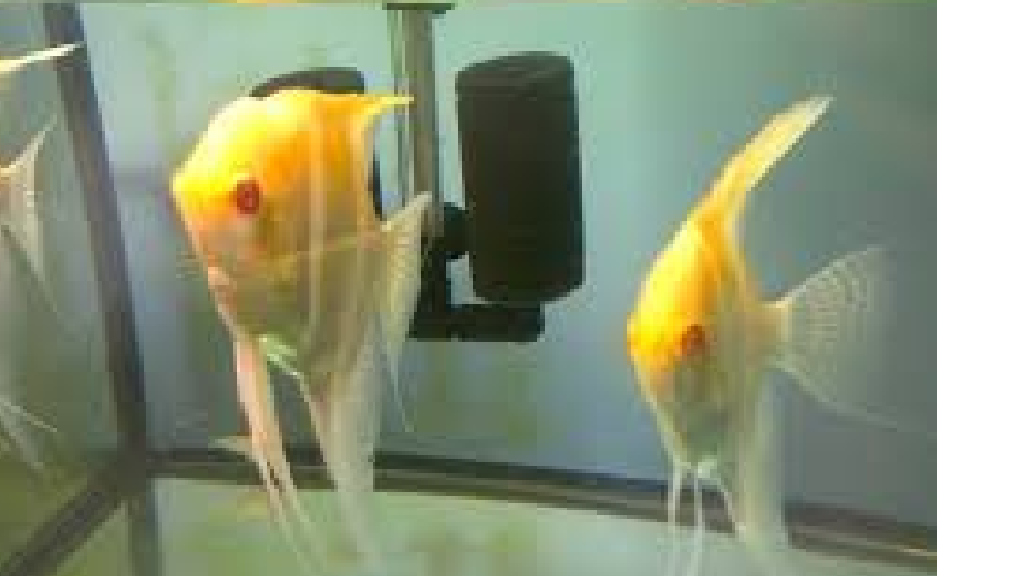 Albino Melek Balığı