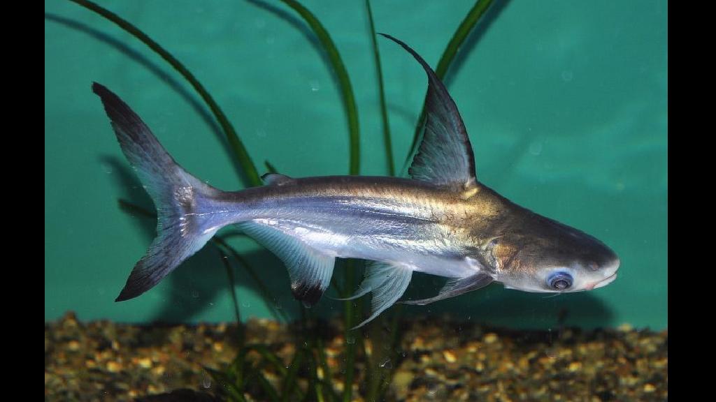 Challenger Köpekbalığı