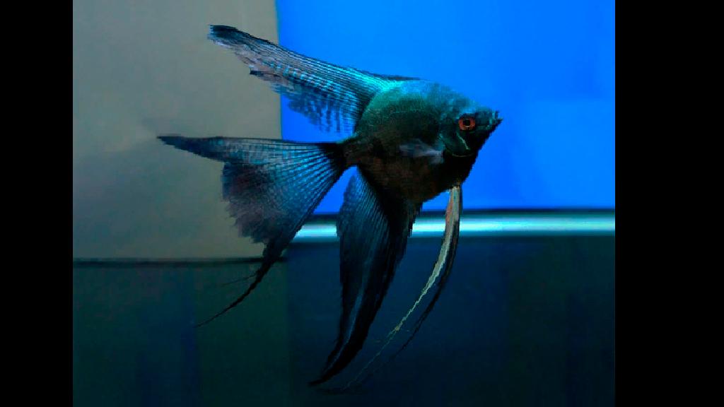 Pinoy Ghost Melek Balığı
